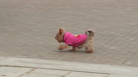 Weinig hond in overall het lopen stock video