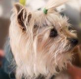 Weinig hond van Yorkshire royalty-vrije stock fotografie