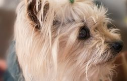 Weinig hond van Yorkshire Stock Fotografie