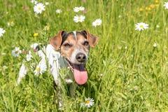 Weinig hond zit in een bloeiende weide in de lente Oude de jaren van Jack Russell Terrier dog11 royalty-vrije stock fotografie