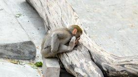 Weinig Japanse macaquebaby stock footage