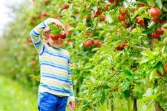 Weinig jong geitjejongen die rode appelen op de landbouwbedrijfherfst plukken stock fotografie