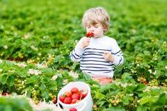 Weinig jong geitjejongen het plukken aardbeien op landbouwbedrijf, in openlucht Stock Afbeelding