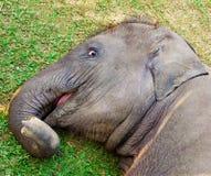 Weinig jonge olifant die op het gras liggen stock fotografie