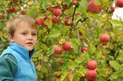 Weinig jongen het plukken appelen royalty-vrije stock foto's