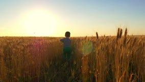 Weinig jongen loopt in een traag tempo langs het tarwegebied met een stuk speelgoed vliegtuig bij zonsondergang Het kind is geluk stock videobeelden