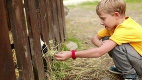Weinig jongen voedt een geit met hooi door de omheining op een landbouwbedrijf stock footage