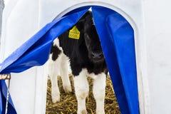 Weinig kalf op een melkveehouderij stock afbeeldingen