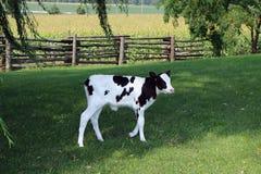 Weinig kalf van Holstein loopt in de schaduw onder wilg en sprinkhanenbomen royalty-vrije stock afbeelding