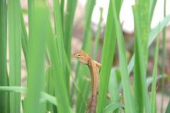 Weinig kameleon Thai Stock Afbeeldingen