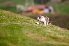 Weinig kat die in het gras loopt Stock Foto