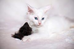 Weinig katje het spelen met stuk speelgoed muis Stock Foto