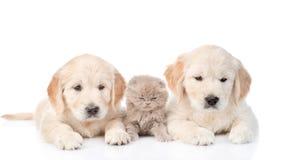 Weinig katje ligt tussen twee golden retrieverpuppy Ge?soleerdj op witte achtergrond royalty-vrije stock afbeelding