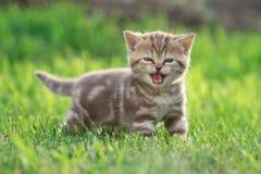 Weinig katjeskat die in het groene gras mauwen stock fotografie