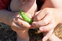 Weinig kind overhandigt holding groene erwten royalty-vrije stock foto