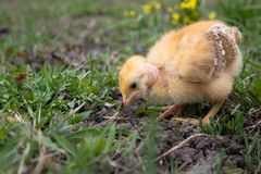 Weinig kip, close-up, gele kip op het gras Kwekende kleine kippen Pluimveehouderij stock fotografie