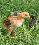 Weinig kip in het gras Stock Fotografie