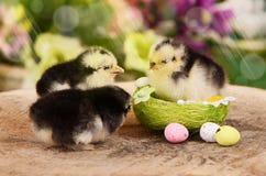 Weinig kip in het nest Pasen Royalty-vrije Stock Foto
