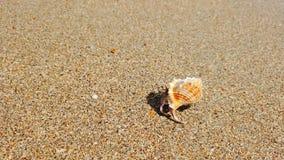 Weinig kluizenaarkrab met mooie shell die op zandstrand aan overzees kruipen stock video