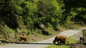 Weinig koeien met calfs die dichtbij weg in Kaukasische mountais in Kutaisi, Georgië weiden stock videobeelden