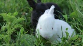 Weinig konijn op groen gras in de zomerdag stock footage