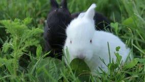 Weinig konijn op groen gras in de zomerdag stock video