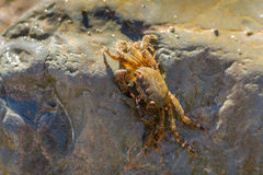 Weinig krab die achter een grote steen verbergen Royalty-vrije Stock Afbeelding