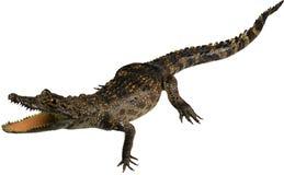 Weinig krokodil royalty-vrije stock afbeelding