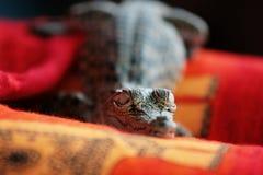 Weinig krokodil Stock Foto