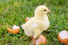 Weinig kuiken met eierschaal op het gras Royalty-vrije Stock Foto