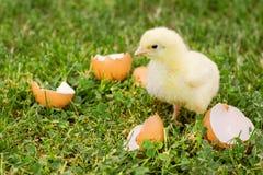 Weinig kuiken met eierschaal op het gras Royalty-vrije Stock Fotografie