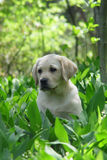Weinig Labrador stock afbeelding