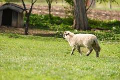 Weinig lam die bij het landbouwbedrijf op gras lopen Royalty-vrije Stock Foto