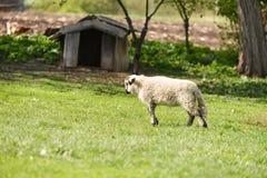 Weinig lam die bij het landbouwbedrijf op gras lopen Royalty-vrije Stock Afbeeldingen