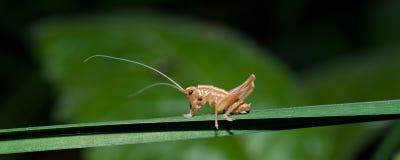 Weinig lang-gehoornde sprinkhaan op een grassprietje stock foto