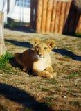 Weinig leeuwwelp in aard Oogcontact Stock Foto's