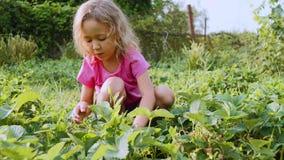 Weinig leuk meisje eet aardbeizitting dichtbij het installatiebed in de tuin stock videobeelden