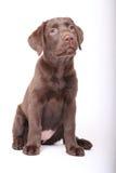 Weinig leuk puppy Royalty-vrije Stock Fotografie