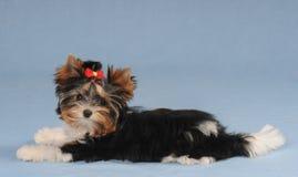 Weinig leuk puppy liyng op blauwe achtergrond Stock Fotografie