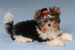 Weinig leuk puppy liyng op blauwe achtergrond Royalty-vrije Stock Foto
