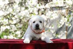 Weinig leuk puppy van Labrador in het park in de lente Royalty-vrije Stock Foto