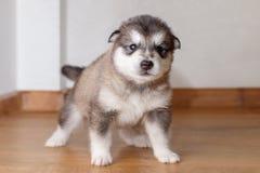 Weinig leuk puppy van ras Malamute die Van Alaska zich op floo bevinden stock foto's