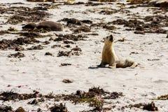 Weinig leuke Australische Zeeleeuw die zijn moeder verzoeken De kustlijn van het kangoeroeeiland, Zuid-Australië, Verbindingsbaai stock afbeeldingen