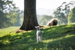 Weinig leuke nieuw - geboren lam die die bos overgaan door warme zonsondergang wordt aangestoken ligh stock afbeeldingen