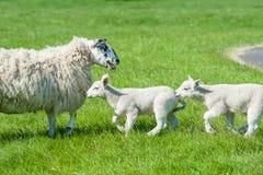 Weinig leuke nieuw - geboren lammeren die naar hun moederschapen lopen royalty-vrije stock fotografie