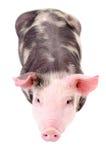 Weinig leuke piggy, hoogste mening royalty-vrije stock afbeelding