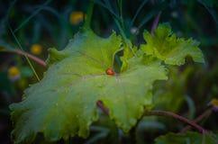 Weinig lieveheersbeestje Coccinellidae op een groot groen blad van klis Arctium De eerste zonstralen worden weerspiegeld in de da stock afbeelding