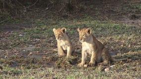 Weinig Lion Cubs stock videobeelden