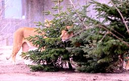 Weinig Lion Cubs Stock Foto's