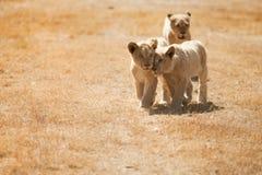 Weinig Lion Cubs Royalty-vrije Stock Afbeeldingen